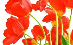Picture leaves, flowers, bright, beauty, bouquet, petals, tulips, red, red, al, flowers, beauty, scarlet, petals, bright, ...
