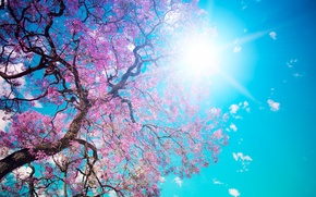 Wallpaper the sky, the sun, tree, blue, beauty, petals, pink, flowering, Beautiful tree blossom, dazzling