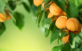 Picture leaves, tree, fruit, fruit, leaves, tree, fruit, apricots, fruits