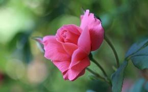 Wallpaper macro, rose, petals, buds, bokeh