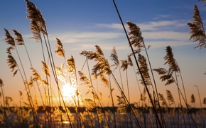 Picture wheat, the sky, sunset, shore, plants, reed