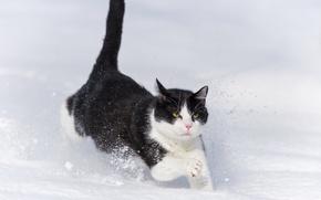 Picture winter, cat, cat, snow, the snow, runs, ©Tambako The Jaguar