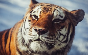 Picture look, face, predator, wild cat, The Amur tiger