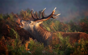 Picture forest, nature, deer, red, forest, nature, animal, deer, wild, Emi, stag