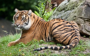 Picture cat, grass, tiger, stone, Sumatran