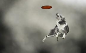 Picture jump, the game, dog, dog, disk, breed, catches, Border Collie, Aport, Frisbee