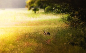Picture FOREST, GRASS, HARE, EARS, The EDGE