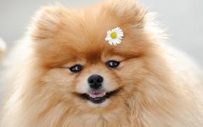 Picture Daisy, muzzle, Spitz