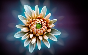 Picture flower, background, Dahlia, white-orange