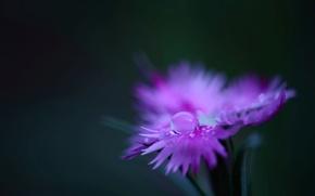 Wallpaper flower, water, macro, Rosa, pink, plant, color, drop, petals, carnation, field