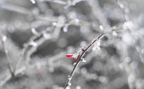 Picture cold, winter, frost, white, macro, snow, red, berries, sprig, minimalism, frost, frost