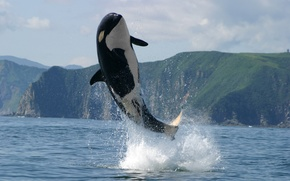 Picture sea, mountains, photo, jump, Kamchatka, orca