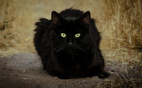 Picture cat, eyes, cat, black