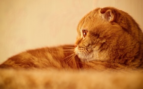 Picture eyes, cat, face, portrait, red, Scottish fold