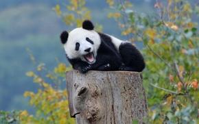 Picture autumn, forest, Panda, bear