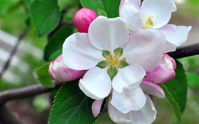 Picture macro, branch, petals, Apple, buds, flowering
