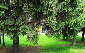 Picture summer, spruce, needles, Spruce forest