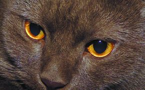 Picture eyes, cat, purple, British