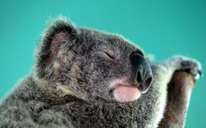 Picture sleep, Australia, Koala, herbivores, marsupials