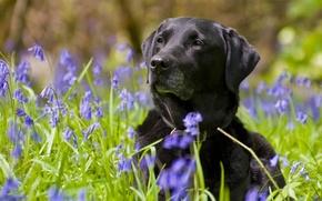 Picture flowers, dog, bells, Labrador Retriever