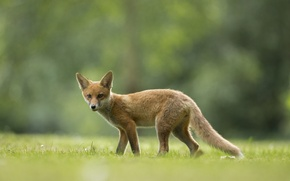 Picture field, grass, Fox, grass, fox, field, bokeh, bokeh