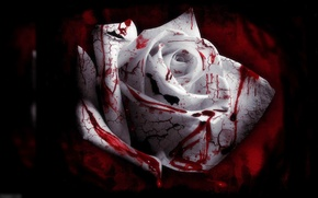 Picture blood, rose, blood roses