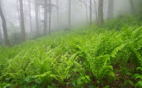 Picture trees, fog, Forest, fern