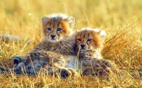 Wallpaper gepardi, small, Africa, grass