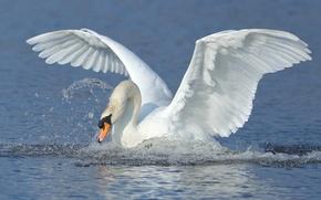 Picture water, squirt, bird, wings, Swan, stroke