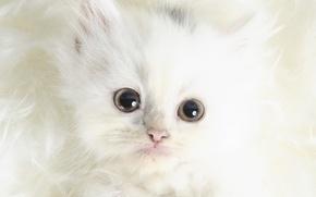 Picture white, look, Koshak, Wool