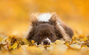 Picture look, leaves, dog, muzzle, Chihuahua, doggie