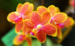 Picture macro, flowers, orchids, orchid