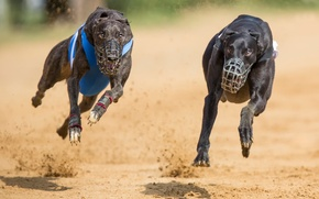 Picture running, two dogs, muzzles