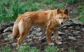 Picture nature, predator, dog, Dingo