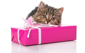 Picture cat, look, gift, muzzle, kitty