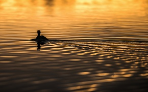 Picture water, sunlight, ripples, swimming, Goose