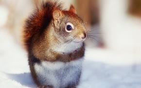 Picture winter, legs, fur, squirrel, coat