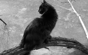 Picture cat, nature, black and white, black, sitting