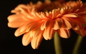 Wallpaper flower, flowers, petals, stem, Bud, flowers, gerbera