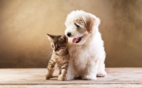 Picture kitty, dog, friends, lapdog, kitten, cat, dog