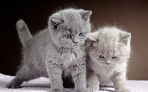 Picture Cats, Kittens, Grey, Two, Animals