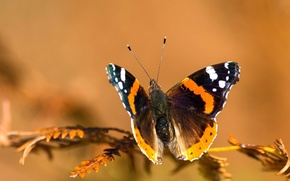 Picture insects, butterfly, Nature