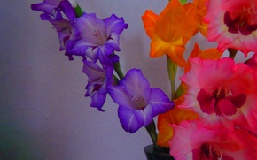 Picture flowers, gladiolus, background, white, lilac, pink, orange, photo