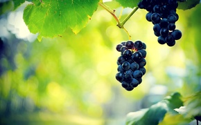 Picture leaves, berries, grapes, bunch, vine