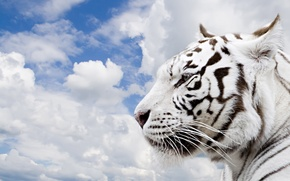 Picture the sky, clouds, tiger