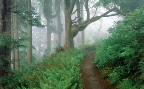 Wallpaper fog, fern, forest, trail