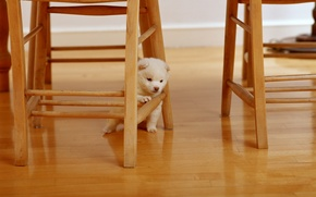 Picture animals, white, situation, tree, chairs, dog, fluffy, chair, wooden, dog