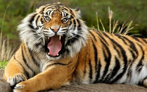 Picture animals, Tiger, what a mug