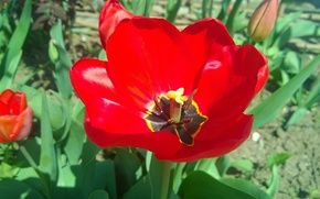 Picture red, Bud, tulips