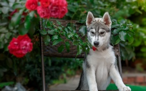 Wallpaper roses, husky, puppy, chair